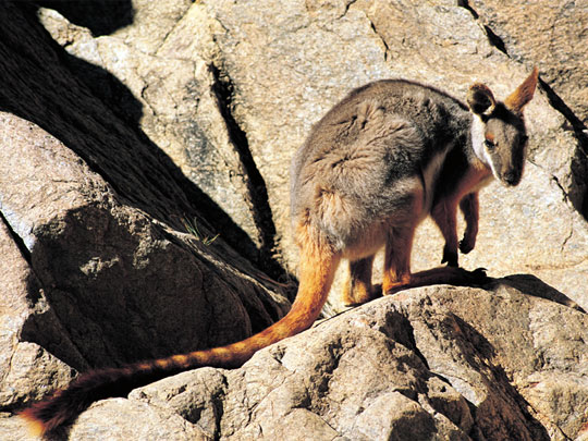 Yellow Footed Rock Wallaby - Heysen Trail